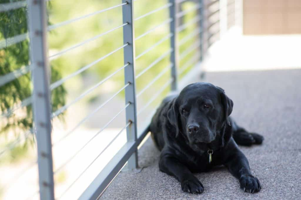 Sort labrador hund med hundetegn